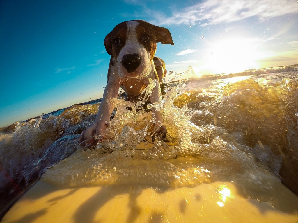 Confident dog pup surfing